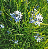 Amsonia hubrichtii Seeds Arkansas Bluestar