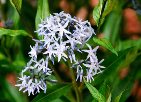 Amsonia tabernaemontana Arkansas Bluestar Seeds