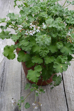Apple Scented Geranium