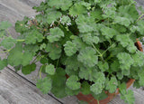 Fragrant Pelargonium Apple Scented Geranium