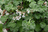 Scented Geranium Apple Variety