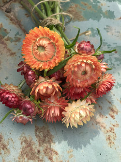 Apricot Strawflower Seeds