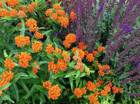Asclepias Tuberosa Butterfly Weed Seeds Monarch Butterfly Host Plant