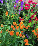 Butterfly Weed Seeds Monarch Host Plant Asclepias tuberosa