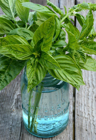Sweet Basil Seeds Organically Grown Basil