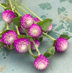 Rose Gomphrena seeds