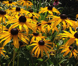 Black Eye Susan Seeds