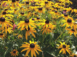 Rudbeckia fulgida Low Maintenance Perennial
