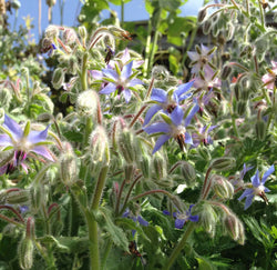 Borage officinalis seeds