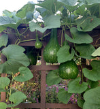 Bottle Gourds Lagenaria siceraria Seeds Grow Your Own Gourds