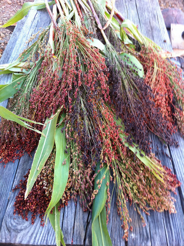 Sorghum bicolor Mixed Broomcorn Seeds