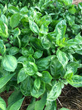 Thai Basil Cardinal Basil in the Herb Garden
