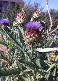 Cardoon flower heads in the garden