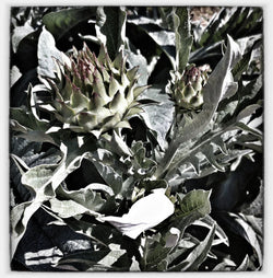 Cardoon, Wild Artichoke seeds
