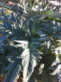Silver foliage of the Cardoon plant