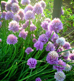 Purple Blooms of Chives in the Herb Garden
