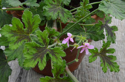 Chocolate Peppermint Scented Geranium