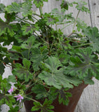 Scented Geranium Chocolate Peppermint Plant