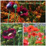 Poppy Seed Collection, Easy to Grow Poppies