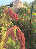 Coral Fountains Amaranth in the Cut Flower Garden