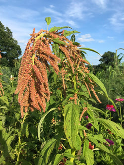 Coral Fountains Amaranth Seeds for Cut Flowers