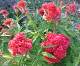 Peach Cockscomb Celosia Seeds