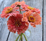 Benary's Salmon Rose Zinnia Seeds