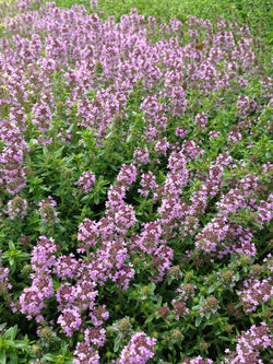 Creeping Thyme Seeds Groundcover Thyme