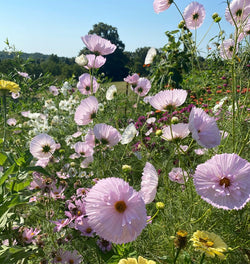pink cupcakes cosmos