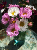 Double Click Cosmos Blooms for Cut Flowers