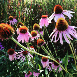 Echinacea purpurea Purple Coneflower Seeds