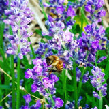 Lavender Flowers Are Great For Bee Friendly Gardens