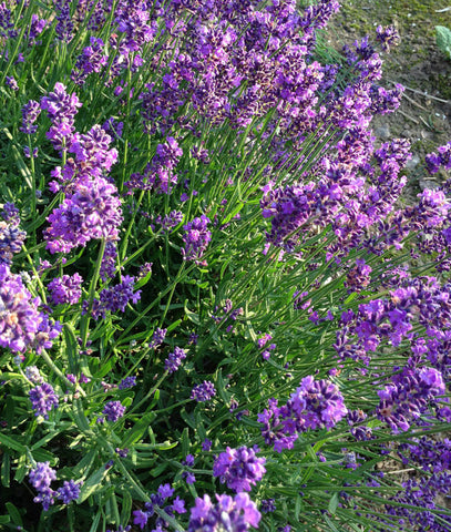 English Lavender Seeds Lavandula angustifolia