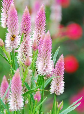 Flamingo Feather Celosia Pink Wheat Celosia