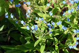 Blue Forget me Not Seeds Firmament Seeds