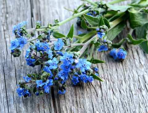 Chinese Forget me Not Seeds cynoglossum