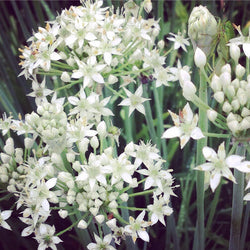 Garlic Chives Allium tuberosum Seeds