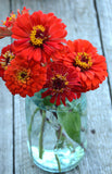 Heirloom Zinnia Seeds Gift Zinnias