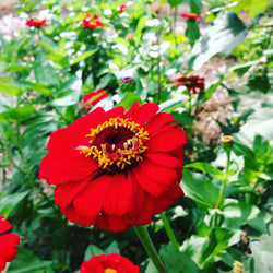 Heirloom Gift Zinnia Seeds