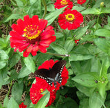 Gift Zinnias Great for Butterfly Gardens