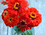 Heirloom Red Zinnias