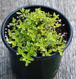 Herb Plant Creeping Thyme Golden Transparent