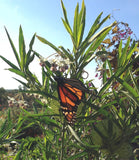Monarch Butterfly Host Plant Hairy Balls Milkweed
