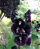 Heirloom Hollyhock Seeds For Sale