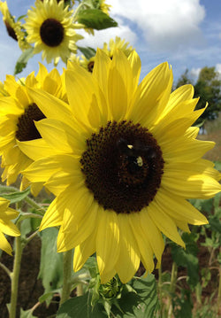Yellow Sunflowers Lemon Queen Cut Flower Garden Favorite