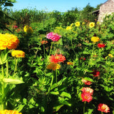 Benary's Mixed Zinnia Seeds