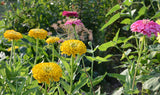 Large Mixed Zinnia Seeds Benary's Giant Zinnias