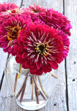 Benary's Giant Wine Zinnia Seeds For Sale