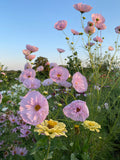 Blush Cupcakes Cosmos seeds