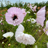 cosmos is great for pollinator gardens
